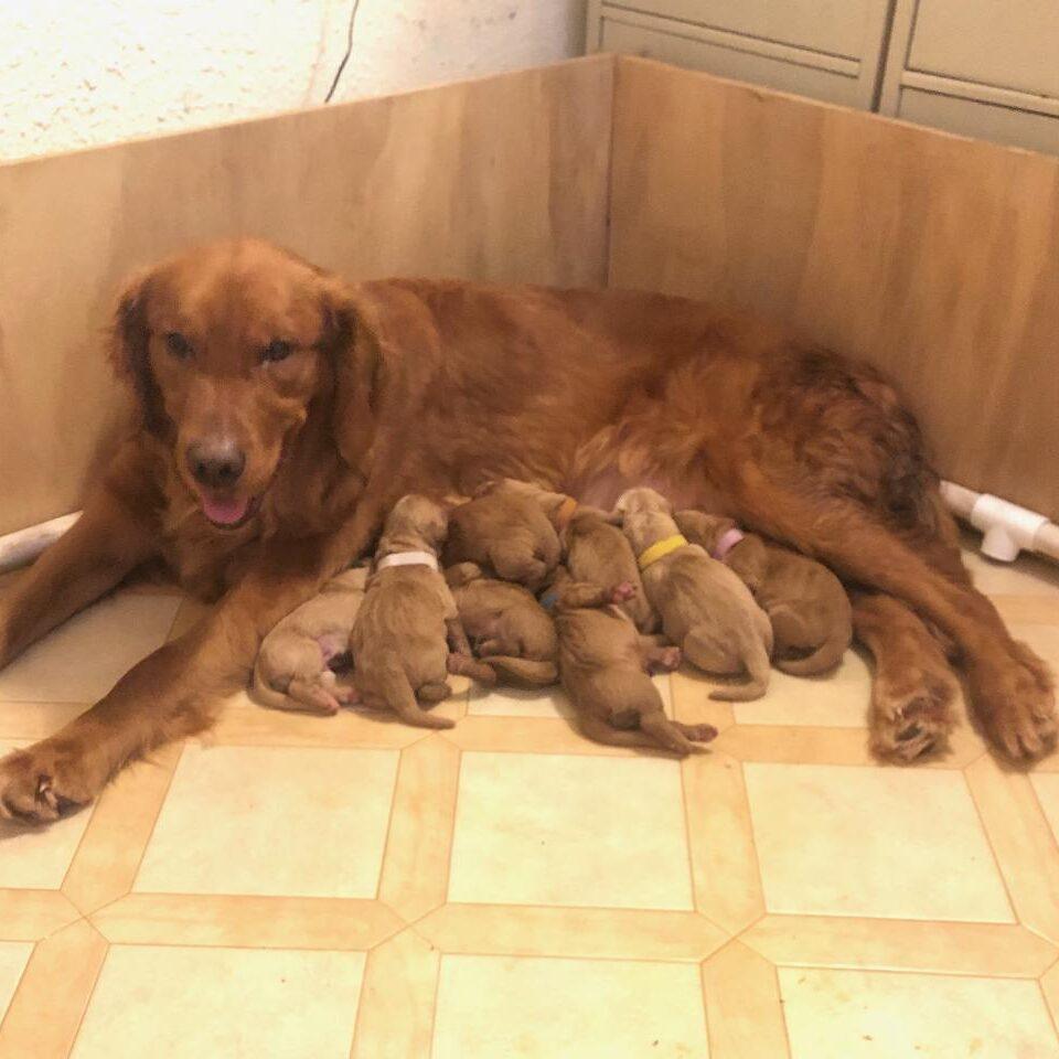 DARK DAISY - FRIENDS DOG - ALL CERTS DONE,  NO CHIC#